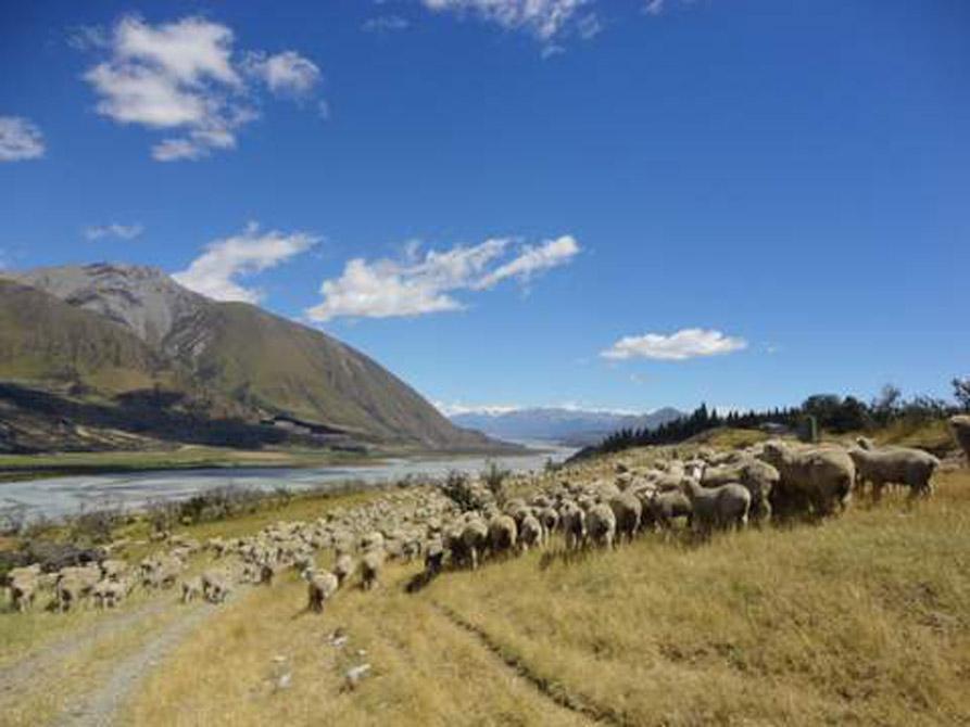 Sheep and Gorge scene